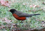 First Robin of 2013